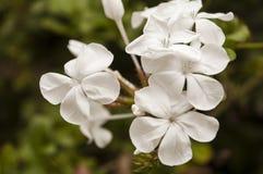 jasmine λουλουδιών διαφορών ανασκόπησης συμπαθητικό εποχιακό θέμα Στοκ Εικόνες