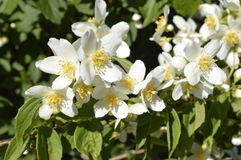 jasmine λουλουδιών διαφορών ανασκόπησης συμπαθητικό εποχιακό θέμα Στοκ εικόνες με δικαίωμα ελεύθερης χρήσης
