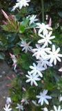 jasmine λουλουδιών διαφορών ανασκόπησης συμπαθητικό εποχιακό θέμα στοκ φωτογραφία με δικαίωμα ελεύθερης χρήσης