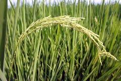 jasmine σιταριών ρύζι Στοκ φωτογραφία με δικαίωμα ελεύθερης χρήσης
