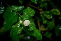 Jasmine στη βροχή Στοκ Εικόνα