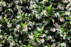 jasmine τοίχος φυτών Στοκ φωτογραφία με δικαίωμα ελεύθερης χρήσης