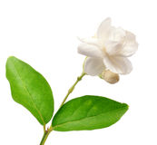 Jasmine. Flower  with clipping path Royalty Free Stock Image