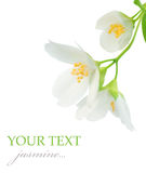 Jasmine. Beautiful Jasmine isolated on white stock photography