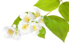 Jasmine. Beautiful Fresh Jasmine isolated on white royalty free stock images