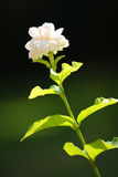 Jasmine. A jasmine with black background royalty free stock images