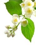 Jasmine. Stock Images