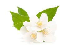 Jasmine. Isolated on white background Royalty Free Stock Images