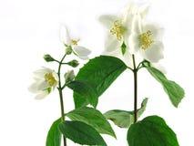 Jasmine. Series Flowers: Branch Of Fresh, white Jasmine Stock Photos