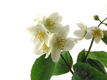 Jasmine. Series Flowers: Branch Of Fresh, white Jasmine royalty free stock images