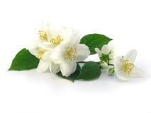 Jasmine. Series Flowers: Branch Of Fresh, white Jasmine Stock Photo