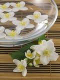 Jasmine. Series flowers: branch of fresh jasmine Stock Image