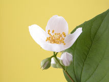 Jasmine Royalty Free Stock Photography