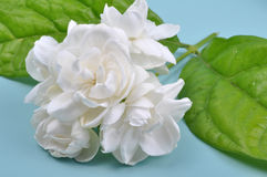 Jasmine Stock Photography
