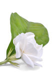 Jasmine. Flowers with clipping path Royalty Free Stock Photography