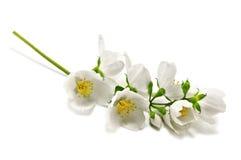 Jasmine. Twig isolated on white stock image