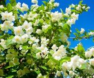 Jasmine against blue sky Stock Photos