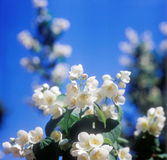 Jasmine against blue sky. Royalty Free Stock Photography