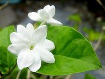Jasmine. Arabian jasmine & x28;Jasminum sambac& x29; flower on tree stock images