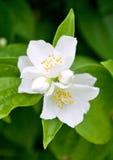 Jasmine. Beautiful white jasmine flower in green leaves stock image