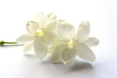 Jasmine. A beautiful Jasmine on the white paper Royalty Free Stock Photos