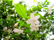 Jasmine. Beauty Flower in Thailand Summer Royalty Free Stock Image