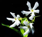 Jasmine Bloom Imagem de Stock Royalty Free