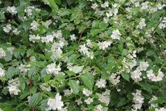 Jasmine blooming flowers 7749 Royalty Free Stock Photos