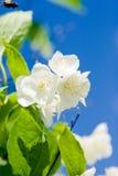 Jasmine blossom Stock Photo