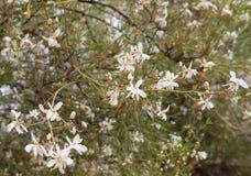 Jasmine blossom Stock Photos