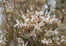 Jasmine blossom Royalty Free Stock Images