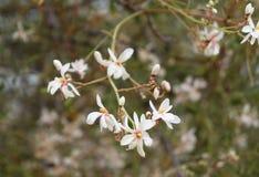 Jasmine blossom Royalty Free Stock Photos