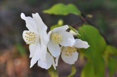 Jasmine Blossom Royalty Free Stock Photography