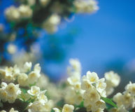 Jasmine blossoms against blue sky. Stock Photo