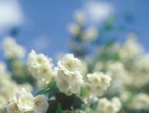 Jasmine blossoms against blue sky. Royalty Free Stock Images