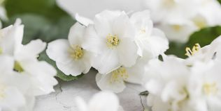 Jasmine blossoms. Bouquet close up. Beautiful scented spring flowers stock image