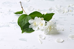 Jasmine Blossoms Stock Images