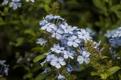 Jasmine. Blue jasmines i na a field in the country stock photos