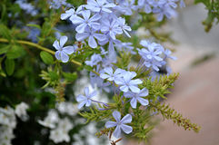 Jasmine blue plumbago Stock Images