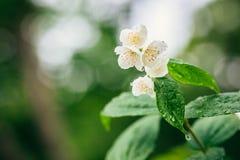 Jasmine. Branch of blossoming jasmine. Royalty Free Stock Photos
