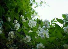 Jasmine blossom white flower green leaf sky outdoor garden. Jasmine branch green leaf white flower sky day garden outdoor summer stock photography