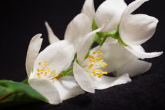 Jasmine branch with white flowers. On a black background Stock Photo