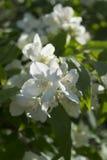 Jasmine. Bright blooming jasmine bush in bright sunlight stock photo