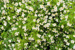 Jasmine bush Royalty Free Stock Image
