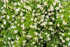 Jasmine bush. Blossoming flowers jasmine bush background Royalty Free Stock Image