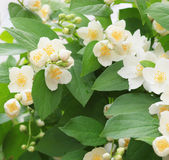 Jasmine bush Royalty Free Stock Photos
