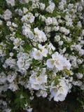 Jasmine bush after rain, Blossoming garden Stock Image