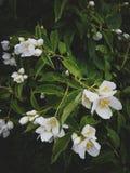 Jasmine bush after rain, Blossoming garden Royalty Free Stock Photography