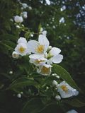 Jasmine bush after rain, Blossoming garden Royalty Free Stock Image