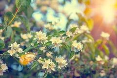 Jasmine bush at sunset Stock Photography